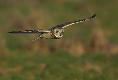 Short eared in flight