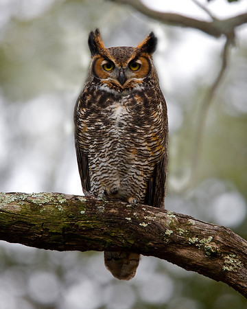 This photograph of a Great Horned Owl was captured in a southern Florida wooded area (12/08).   This photograph is protected by the U.S. Copyright Laws and shall not to be downloaded or reproduced by any means without the formal written permission of Ken Conger Photography.