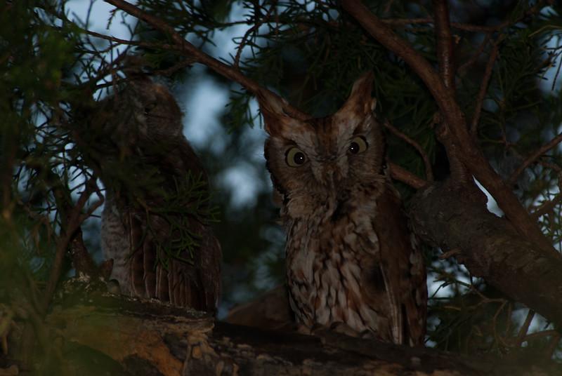 Sceech Owl