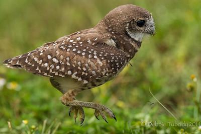 Hop, Skip, & a Jump - Burrowing Owl Brian Piccolo Park Cooper City, Florida © 2014