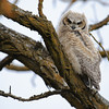 Juvenile Great Horned Owl, Boise, ID, 2011