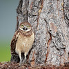 Burrowing Owlet in Florida.