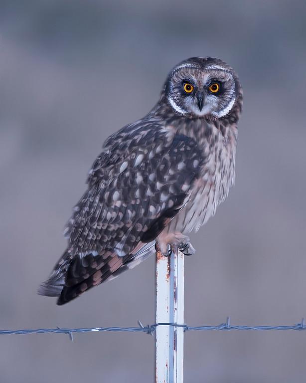 Bear River National Wildlife Refuge Short-eared Owl