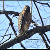 Broad-winged hawk<br /> Ohio, November 2011