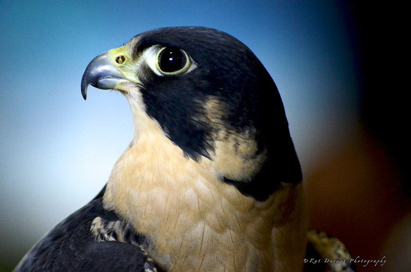 "Peregrine Falcon species at risk.Oscar hatched in 2001 in Alberta.He has been an ""educator"" with the group for 10 years!"