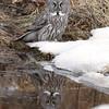 Great Gray Owl in Algonquin Provincial Park, Ontario, Canada.