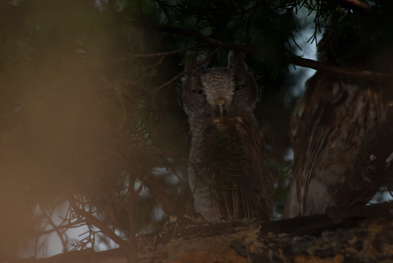 Young screech owl sitting next to its parent. Runge Conservation Area, Jefferson City, Cole County, Missouri.