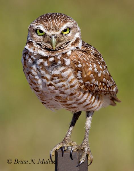 Burrowing Owl guards the burrow.