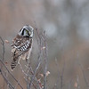 Northern Hawk Owl in Ontario, Canada.