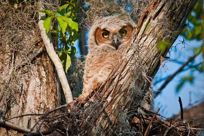 Baby Great Horned Owl Loxahatchee NWR Florida © 2010