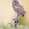 Burrowing Owlet balancing on a GoPro in Cape Coral, Florida