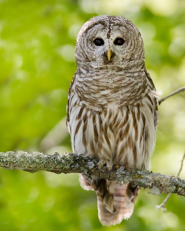 Sherburne National Wildlife Refuge Barred Owl