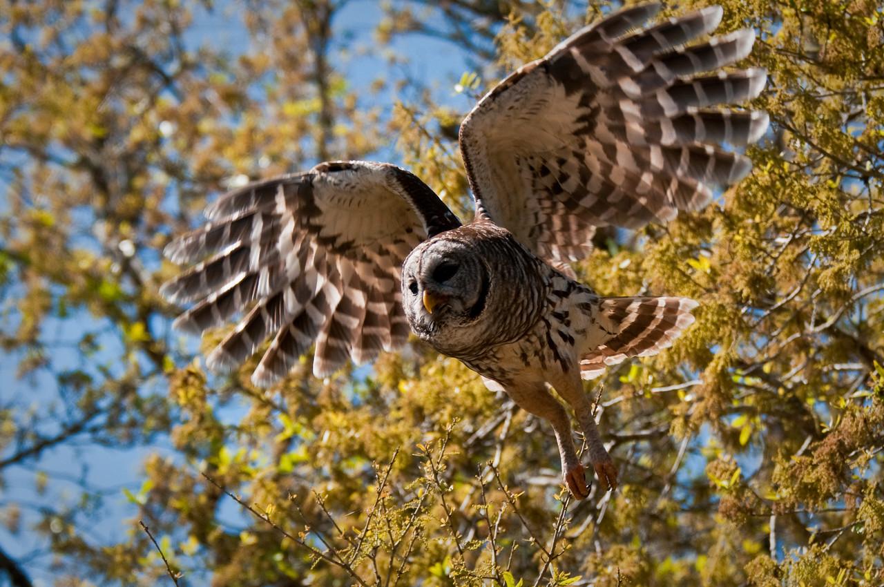 Barred Owl in flight Dinner Island Ranch WMA Hendry County, Florida © 2010
