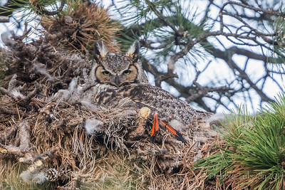 Great Horned Owl Nesting Rocky Mountain National Park Colorado © 2014
