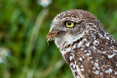 Adult Burrowing Owl - On the Hunt Brian Piccolo Park Cooper City, Florida © 2013