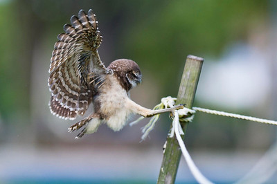 Learning the Ropes Young Burrowing Owl Brian Piccolo Park, Cooper City, Florida © 2013
