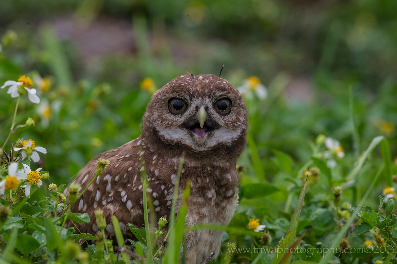 Dark-Eyed Burrowing Owl Brian Piccolo Park, Broward County Cooper City, Florida © 2014