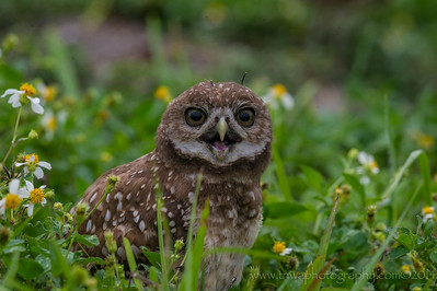 Dark-Eyed Burrowing Owl Brian Piccolo Park, Broward County Cooper City, Florida © 2014