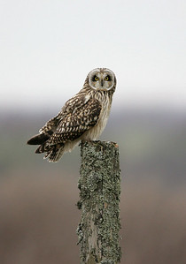 Short eared owl on stump