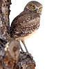 Burrowing Owlet perched on a tree in Florida.
