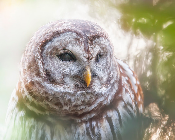 This photograph of a Barred Owl was captured within the Colonial National Historical Park (Jamestown Island), Virginia (10/07).  This photograph is protected by the U.S. Copyright Laws and shall not to be downloaded or reproduced by any means without the formal written permission of Ken Conger Photography.