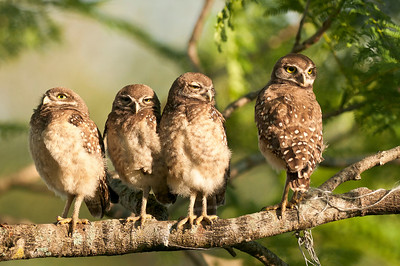 Four Juvenile Burrowing Owls Brian Piccolo Park Cooper City, Florida © 2012