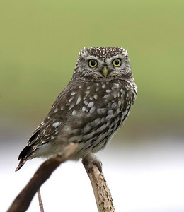 Little owl staring back at me