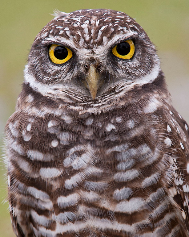 This photograph of a Burrowing Owl was captured in the Brian Piccolo Park, Florida (11/10).     This photograph is protected by the U.S. Copyright Laws and shall not to be downloaded or reproduced by any means without the formal written permission of Ken Conger Photography.