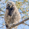 "This photograph of a Great Grey Owl chick was captured in the Oulu area of Finland (6/15). <font color=""RED""><h5>This photograph is protected by International and U.S. Copyright Laws and shall not to be downloaded or reproduced by any means without the formal written permission of Ken Conger Photography.<font color=""RED""></font></h5></font>"