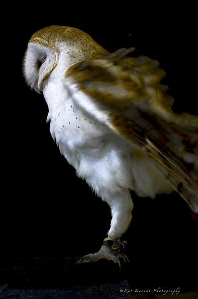 Owls 33