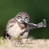 Burrowing Owlet with a feather in Cape Coral, Florida