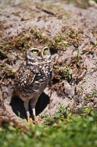 Adult Burrowing Owl Standing Guard Brian Piccolo Park Cooper City, Florida © 2012