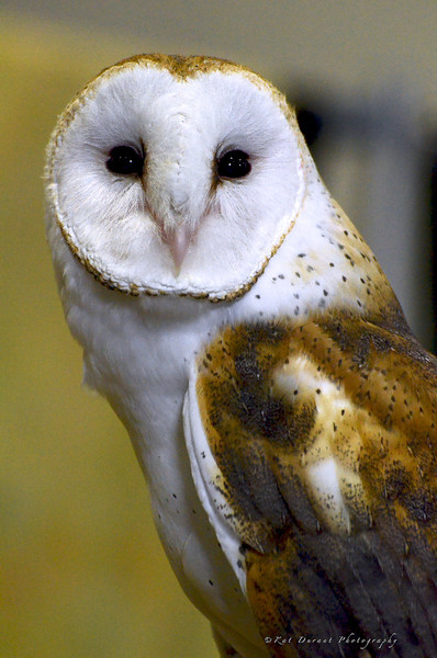 This is Seamus, a North American Barn Owl;another beautiful creature disappearing from our planet as we take away their habitat with development of prime land where these birds used to flourish.