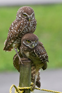 Burrowing Owl Parent & Its Young Brian Piccolo Park Cooper City, Florida © 2013