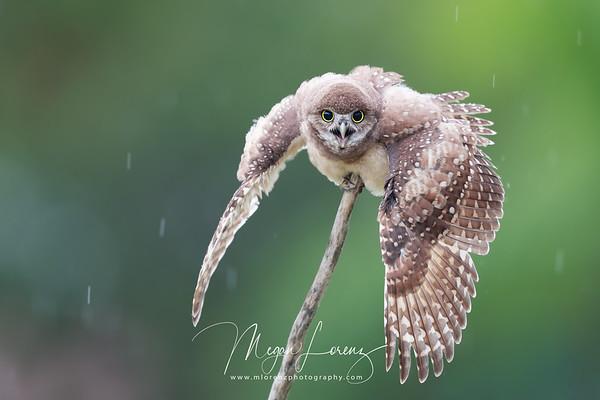Burrowing Owlet soaking in the rain in Florida.