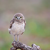 Tiny Burrowing Owlet standing on a fallen branch in Florida.