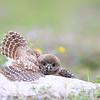 Burrowing Owlet soaking up the rain in Florida.