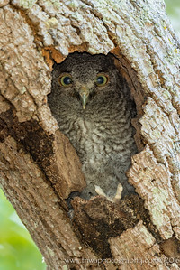 Owlet Growing Up