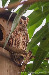 Look Hoo's Back - Eastern Screech Owl Hollywood Florida © 2015
