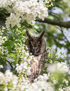 Long Eared Owl in Hawthorn