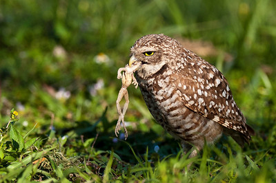 Burrowing Owl with Dinner Frog Brian Piccolo Park Cooper City, Florida © 2013