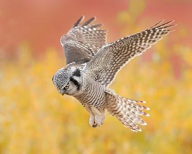 Seward Peninsula (in and around Nome) Northern Hawk Owl