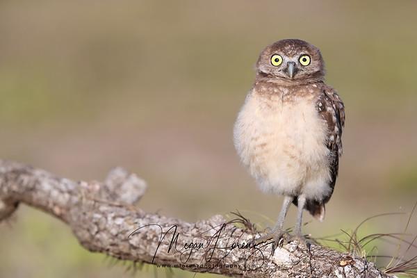 Surprised Burrowing Owlet in Florida