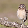 Surprised Burrowing Owlet in Florida