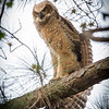 Immature Great Horned Owl