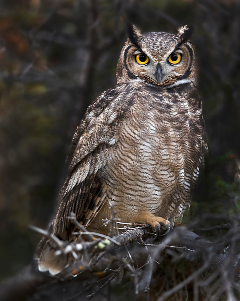 "This photograph of a Magellanic Horned Owl was photographed in Tierra del Fuego portion of Patagonia, Chile (4/15). <font color=""RED""><h5>This photograph is protected by International and U.S. Copyright Laws and shall not to be downloaded or reproduced by any means without the formal written permission of Ken Conger Photography.<font color=""RED""></font></h5></font>"