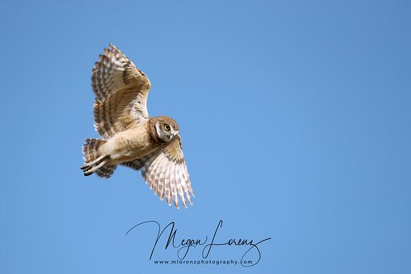 Burrowing Owlet in flight in Florida.