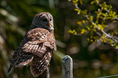 Barred Owl Dinner Island Ranch WMA Hendry County, Florida © 2010