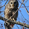 Barred Owl, Blackwater NWR