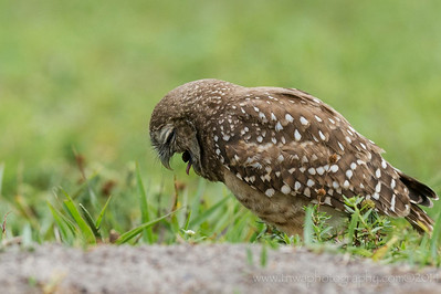 Burrowing Owl Coughing Up A Pellet Brian Piccolo Park, Broward County  Cooper City, Florida © 2014